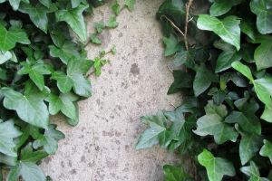 Klätterväxter på din fasadputs.
